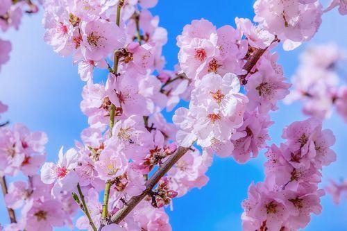 japanese-cherry-4061326_960_720.jpg