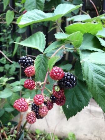 18brackberry0703_3918.jpg