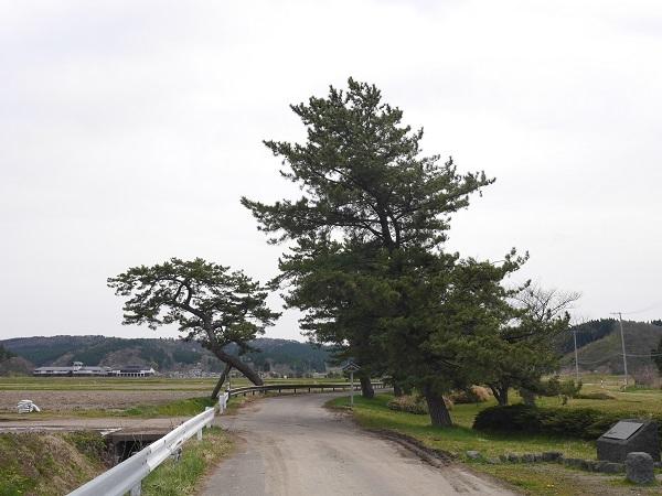 ぽるlog 能代市の樹木