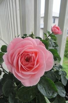 5がつの春ちゃんのバラ
