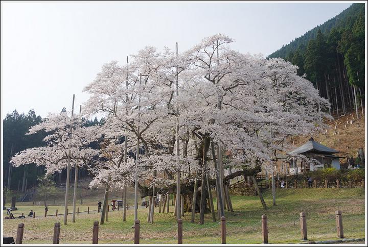 2018年4月3日 岐阜・滋賀の桜ツーリング (11)
