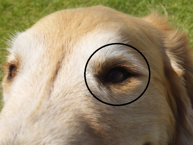 犬のマイボーム腺腫 013