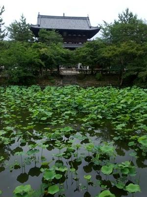 黄檗萬福寺の蓮池1806