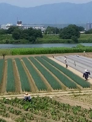 桂川河川敷畑の案山子1806