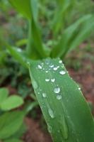 BL180606梅雨入り菜園1IMG_5684