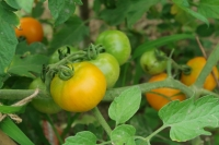 BL180627収穫2IMG_4682