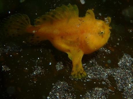 カエルアンコウ黄色ーレイアロハ20180526