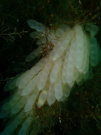 アオリイカの卵ーレイアロハ20180528