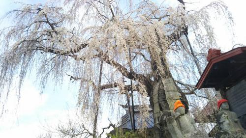 隆谷寺のしだれ桜(樹齢約400年)②2018.4.7