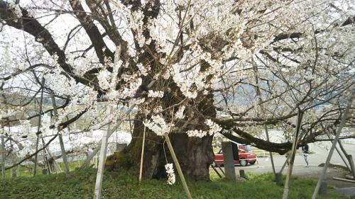 宇木の千歳桜②2018.4.7