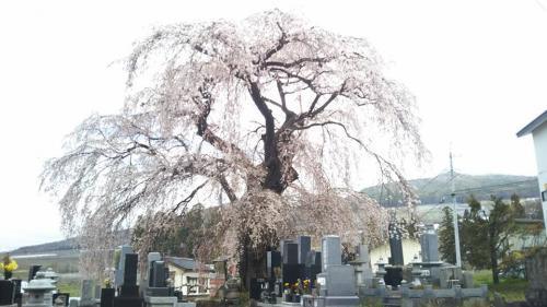 区民会館前のしだれ桜(樹齢約400年)②2018.4.7