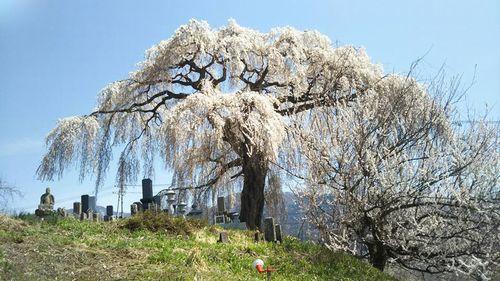 大久保のしだれ桜南側(樹齢約200年)(2018.4.10)