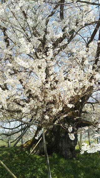宇木のエドヒガン千歳桜幹縦(樹齢約900年)(2018.4.10)