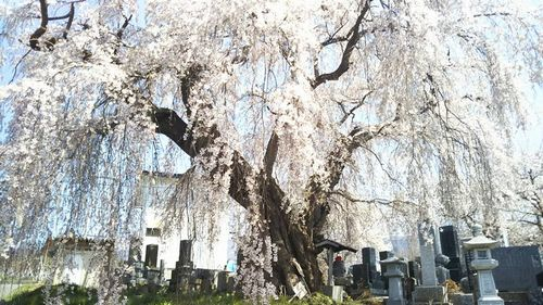 宇木区民会館前のしだれ桜南側(樹齢約400年)(2018.4.10)