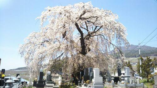 宇木区民会館前のしだれ桜全景(樹齢約400年)(2018.4.10)