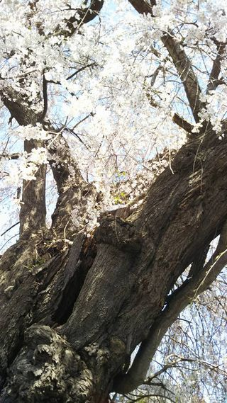 宇木区民会館前のしだれ桜幹縦(樹齢約400年)(2018.4.10)