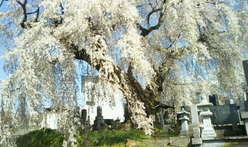 区民会館前のしだれ桜(樹齢約400年)2018.4.12