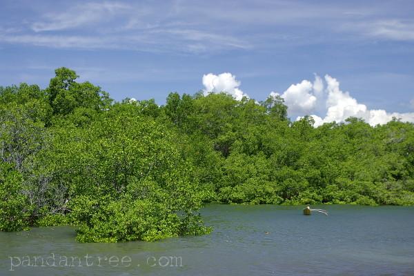 スンバ島のマングローブ1