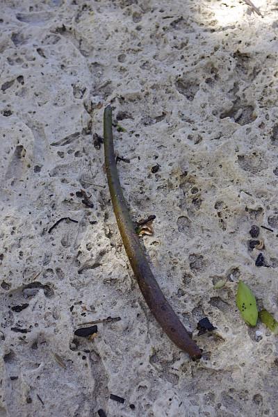 スンバ島のマングローブ2
