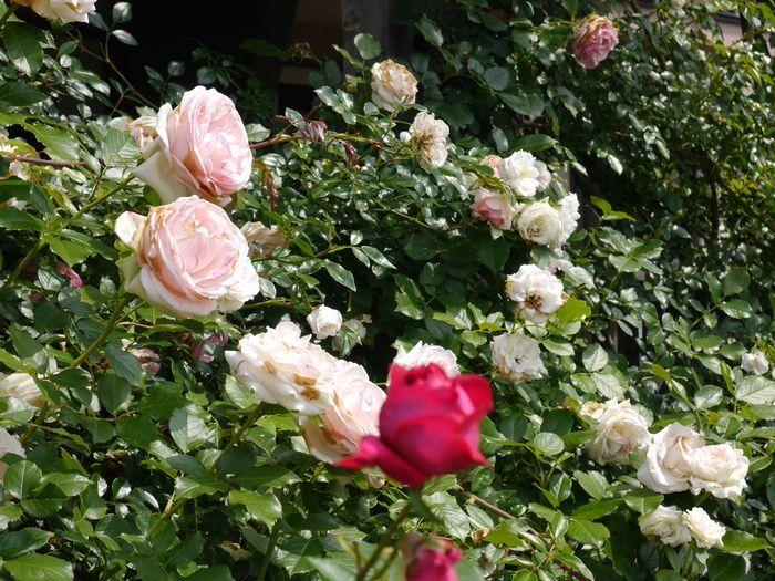 リトルカブ 英国庭園、閑谷学校 (8)
