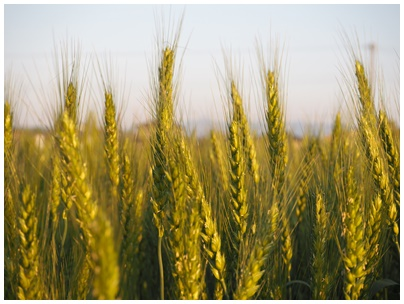 4月28日小麦1