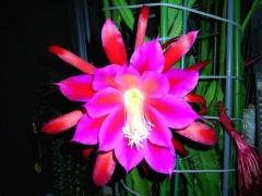 CAI_180607_5171 日付けが変わった深夜の孔雀サボテンの花_VGA