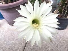 IMG_180610_1819 今朝の子「花盛丸」の花_VGA
