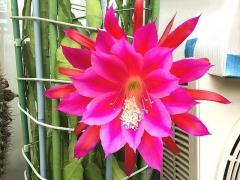 IMG_180612_1832 今朝の今季最後と思われる孔雀サボテンの花・今朝_VGA