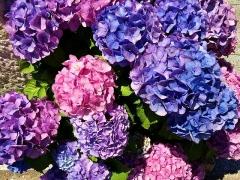 IMG_180616_1837 ご近所の庭に咲いていた紫陽花達_VGA