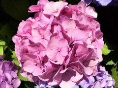 IMG_180616_1838 ご近所の庭に咲いていた紫陽花達zoom_VGA