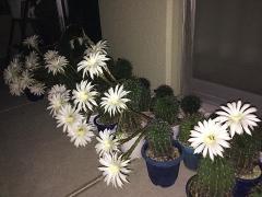 IMG_180715_1920 今夜開いたサボテンの花wide_VGA