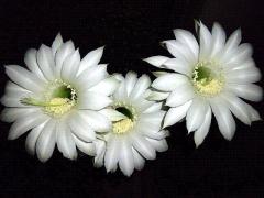 CAI_180727_5221 今季4クールめ・満月&台風到来前夜に開いた子サボテンの花達_VGA