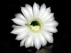 CAI_180727_5222 今季4クールめ・満月&台風到来前夜に開いた子サボテンの花_VGA