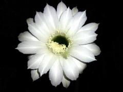 CAI_180727_5223 今季4クールめ・満月&台風到来前夜に開いた親子サボテンの花一輪_VGA