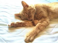 IMG_180731_2015 「ひんやりパッド」の上で寝ているトラ美ちゃんzoom_VGA