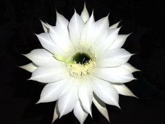 CAI_180804_5228 今夜開いた5クールめの子サボテンの花_VGA