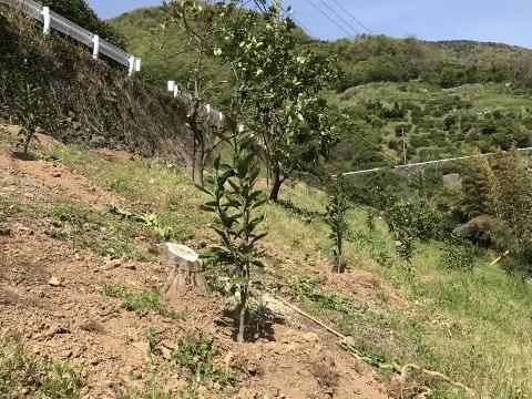 八朔の樹を伐採して六川の恵みかんへ!!