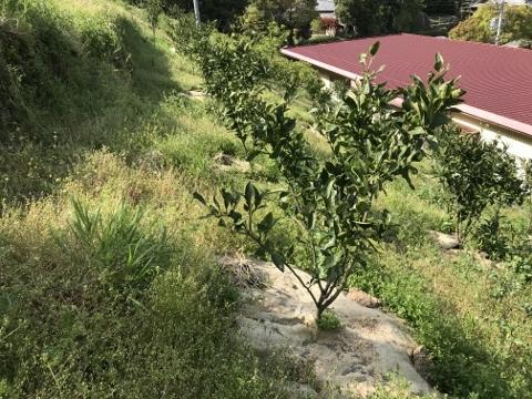 こちらは一昨年定植したみかんの樹です。