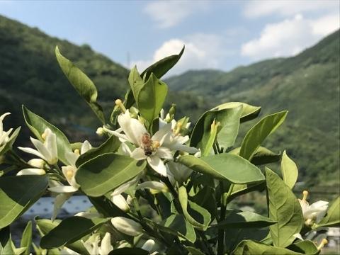 みかんの花にミツバチもきています