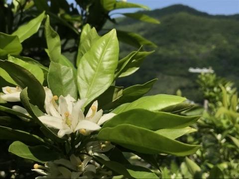 六川の恵みかんの花です