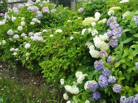1 公園の紫陽花