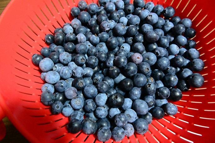 18ブルーベリー収穫_1554a