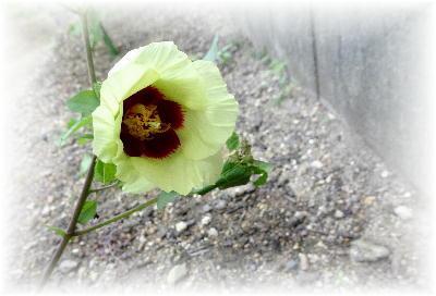 綿の花7-2