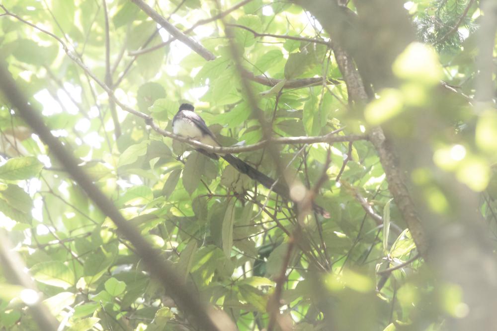 サンコウチョウ523