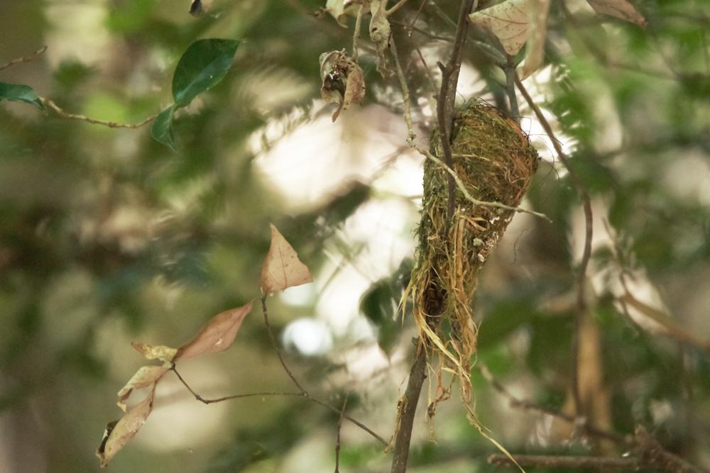 サンコウチョウ巣3