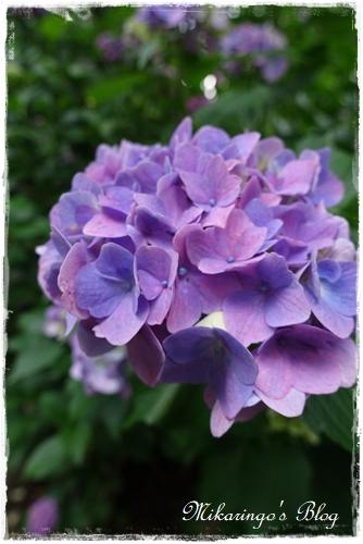 2018.6.9紫陽花