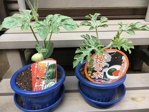 スイカの苗を2種類購入