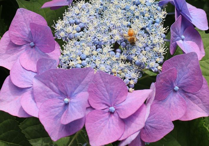 紫陽花 ミツバチ 圓明院 30 6 12