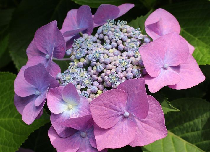 紫陽花七色花びら 30 6 12