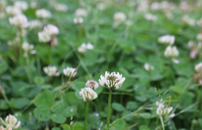白詰草の原っぱです 30 6 19